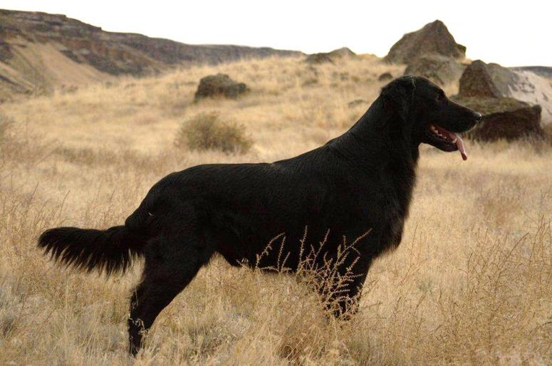 Northern Lights Flat-Coated Retrievers - Pacific Northwest